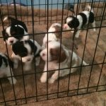 New Puppies born 9-2-16