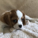 Male King Charles Cavalier Available Puppy