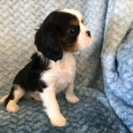 King Charles Cavalier Available Puppy